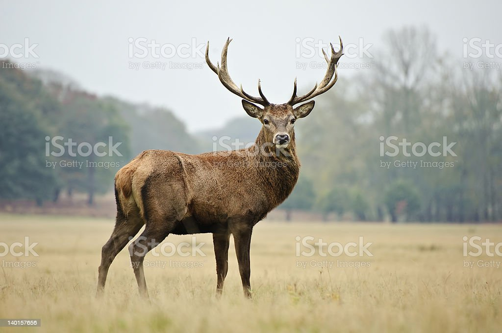 Majestic Red Stag in yellowing autumn meadow stock photo