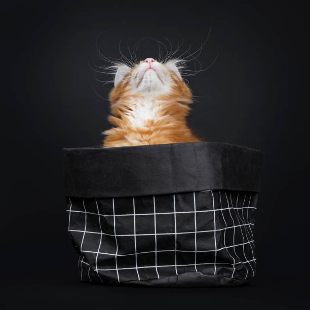 majestic red tabby maine coon cat kitten on black - hair line surface stock photos and pictures