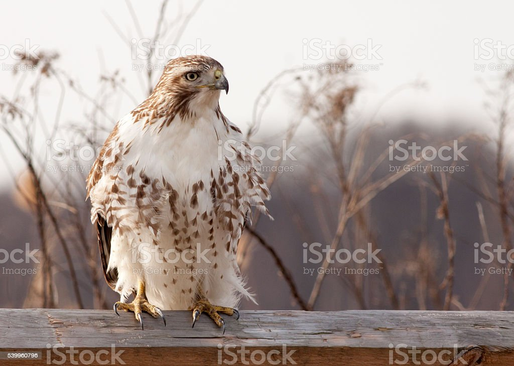 Majestic Red-Tailed Hawk stock photo