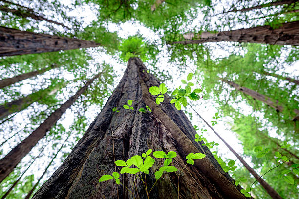 Majestic Redwood stock photo