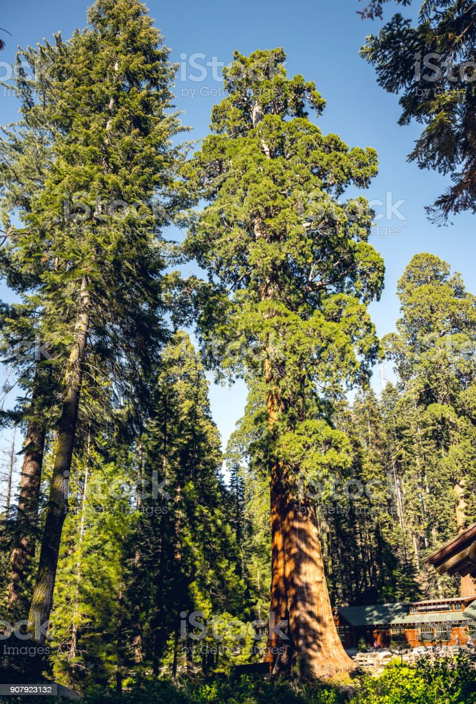 Majestic redwoods in Sequoia National Park, California, USA. Journey through the US National Parks stock photo