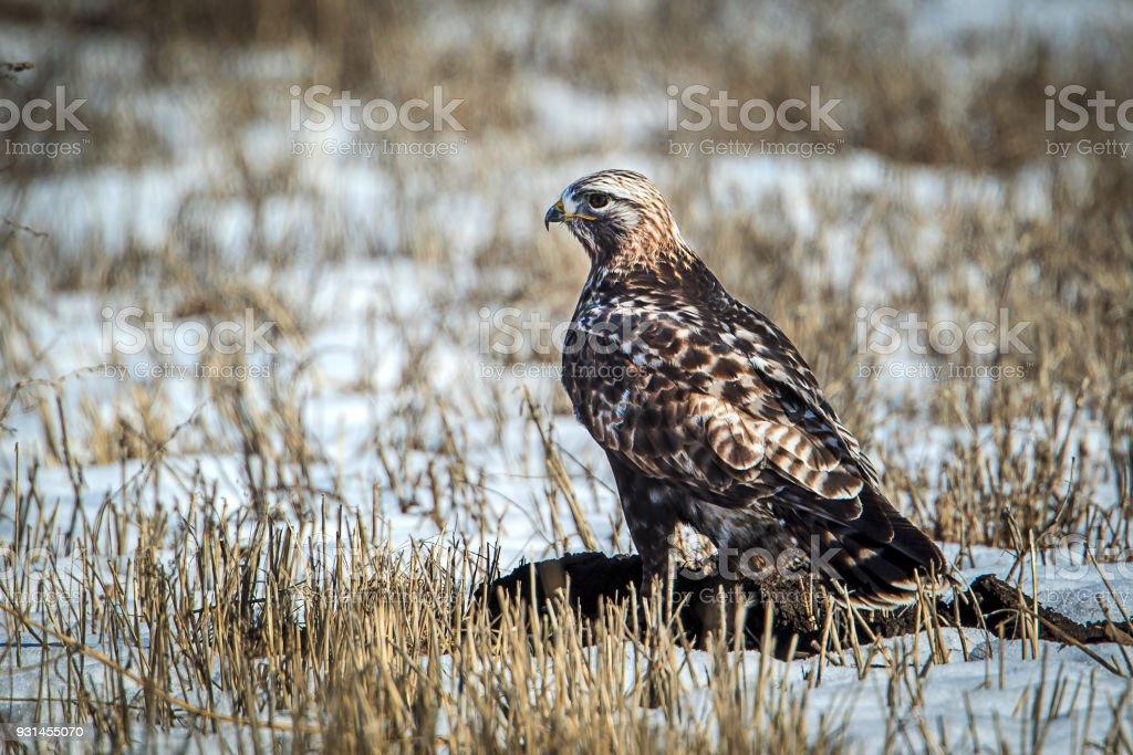 Majestic rough legged hawk on snowy field. stock photo