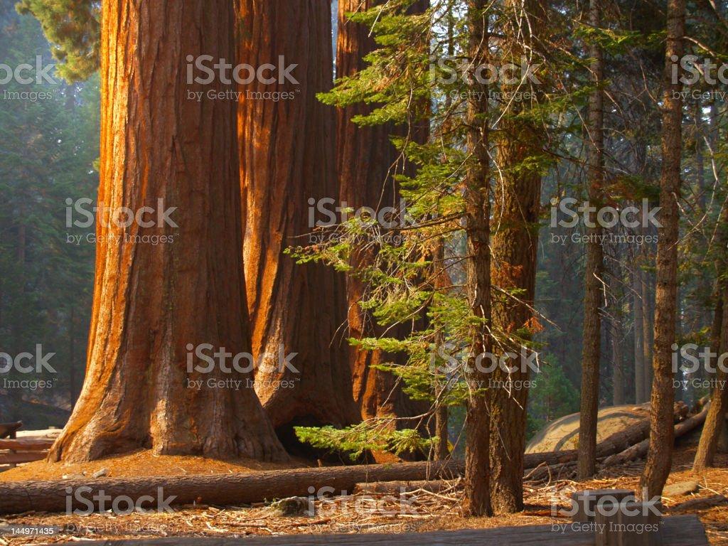Majestic sequoias stock photo