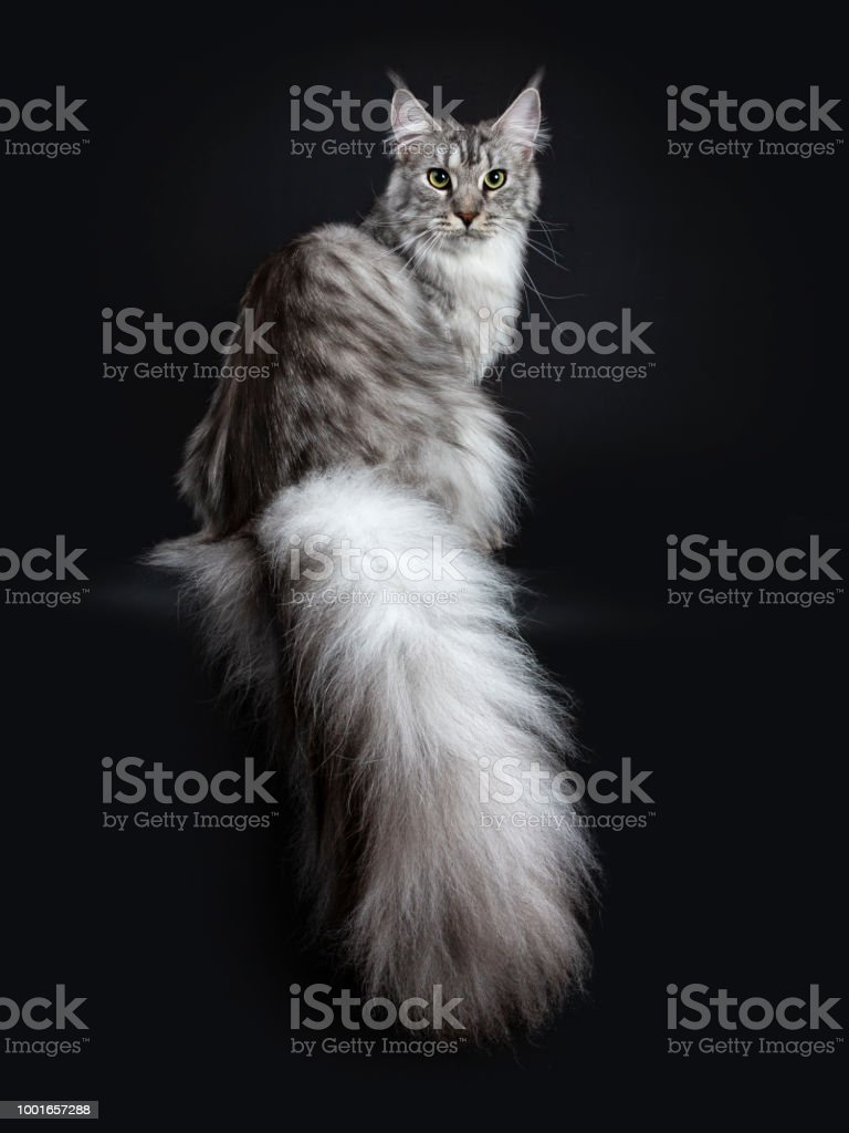 Majestic Silver Tabby Young Adult Maine Coon Cat Sitting