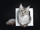 istock Majestic silver tabby young adult Maine Coon cat sitting in white picture frame, looking straight at lens isolated on black background 1001657340