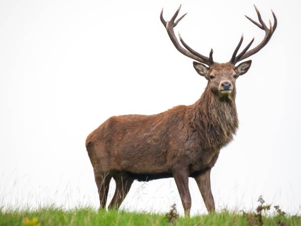A majestic stag stands alone against a white sky A male red deer, stag (Cervus elaphus) at Lyme Park in Disley, Cheshire showing its antlers at the end of the rutting season. rutting stock pictures, royalty-free photos & images