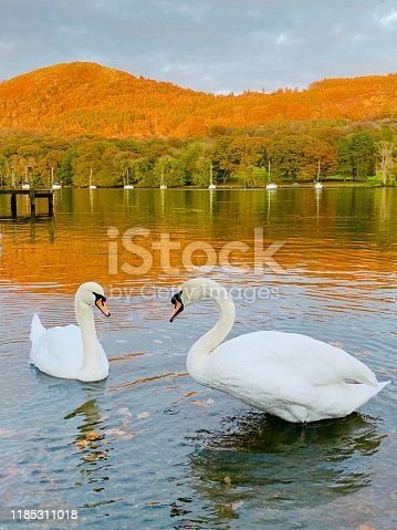 Majestic pair, two white, stunning Swanso standing in amazing couloirs autumnal setting on the edge of Lake Windermere. Still waters and reflections. The vibrant orange and yellow mountains as a backdrop and crisp autumn leaves on ground.