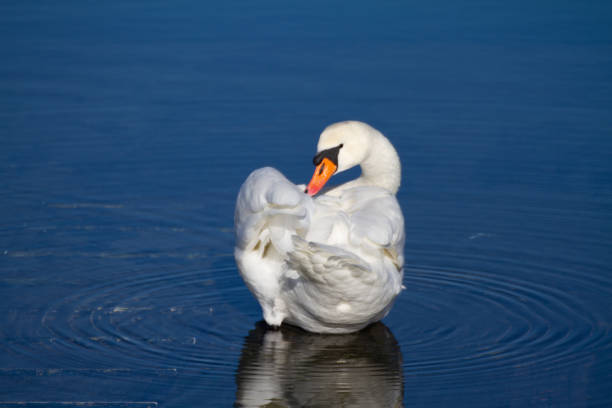 Majestic swan stock photo