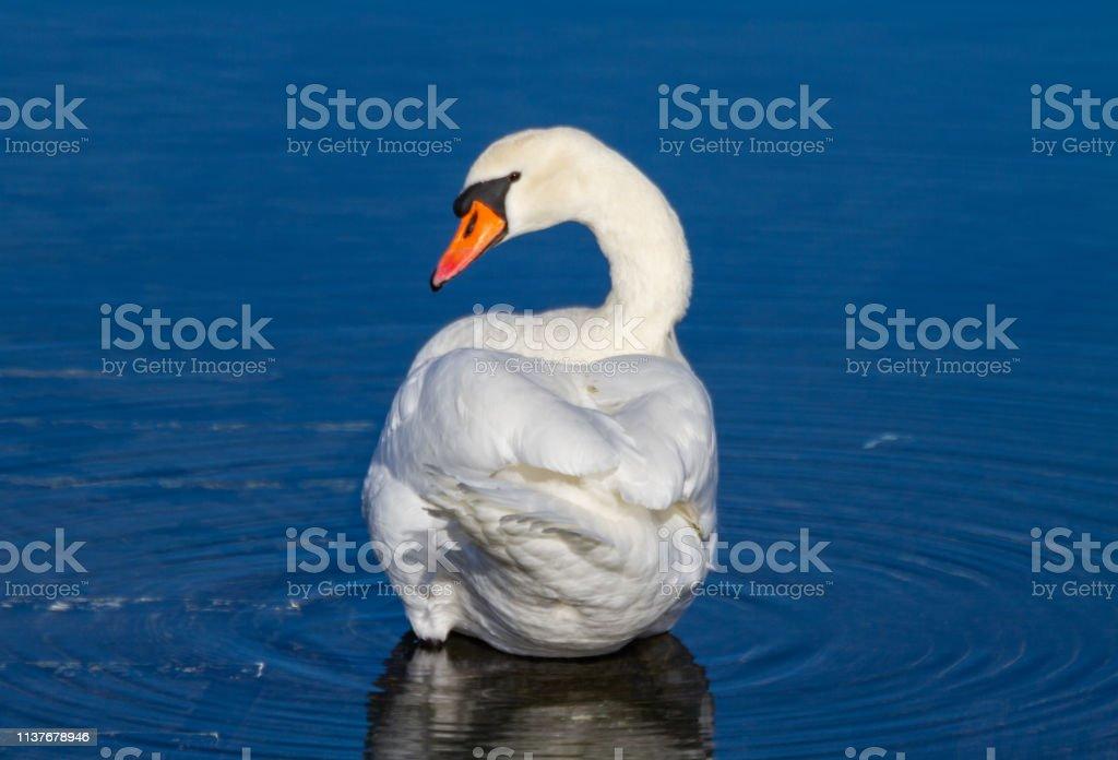 Majestic swan stock photo