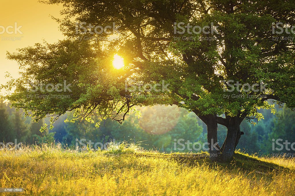 Majestic Tree against the Sunlight during Colorful Sunset Majestic Tree against Sunlight during Colorful Sunset    Tree Stock Photo