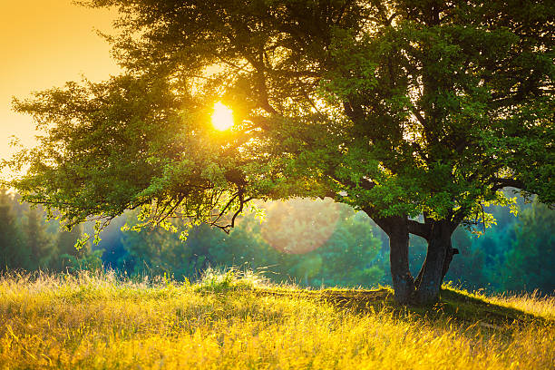Majestic Tree against the Sunlight during Colorful Sunset stock photo