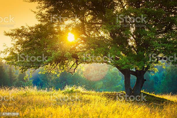 Majestic Tree Against The Sunlight During Colorful Sunset Stock Photo - Download Image Now