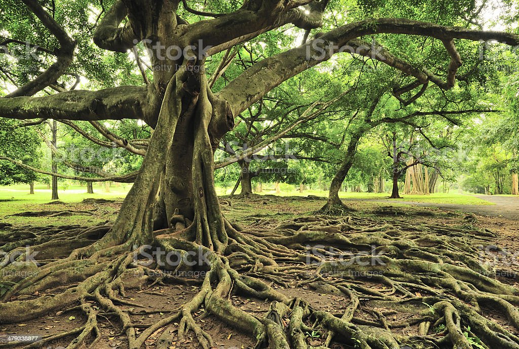 Majestic Tree in Royal Botanical Gardens, Paradeniya, Kandy, Sri Lanka stock photo