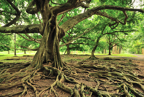 majestic tree in royal botanical gardens, paradeniya, kandy, sri lanka - tree roots stock pictures, royalty-free photos & images