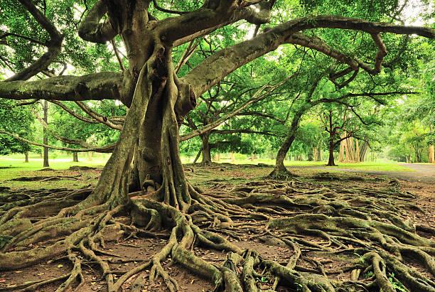 majestic tree in royal botanical gardens, paradeniya, kandy, sri lanka - root stock photos and pictures