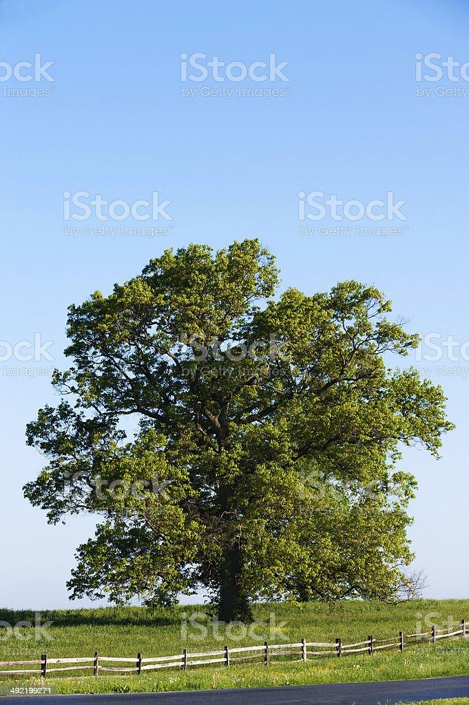 Majestic Tree stock photo