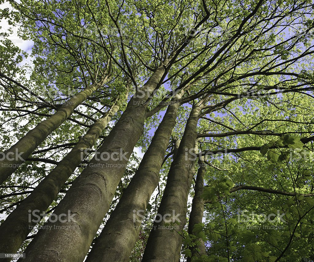 Majestic Trees royalty-free stock photo