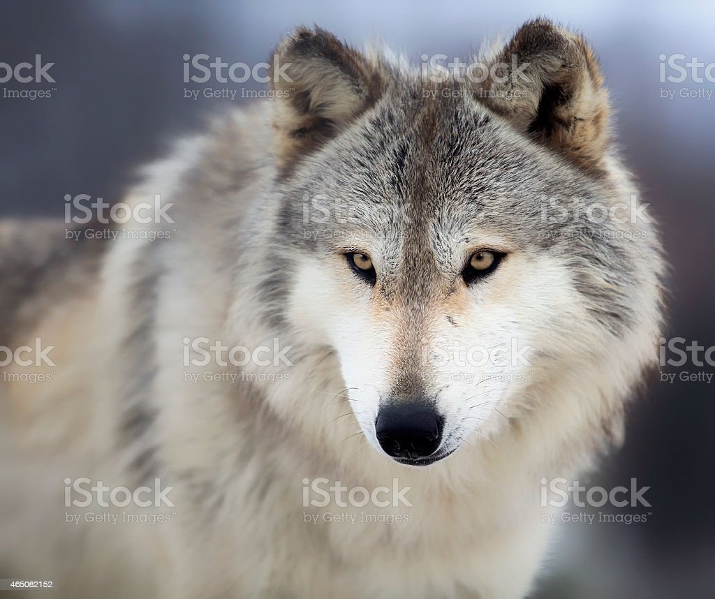 A majestic white and gray wolf looking fierce stock photo