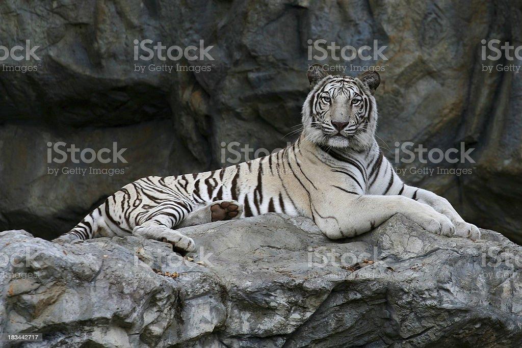 Majestatyczny Biały Tygrys Bengalski Stockowe Zdjęcia I Więcej