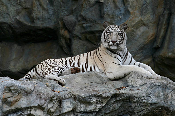 majestic white bengal tiger. - bengal tiger stock pictures, royalty-free photos & images