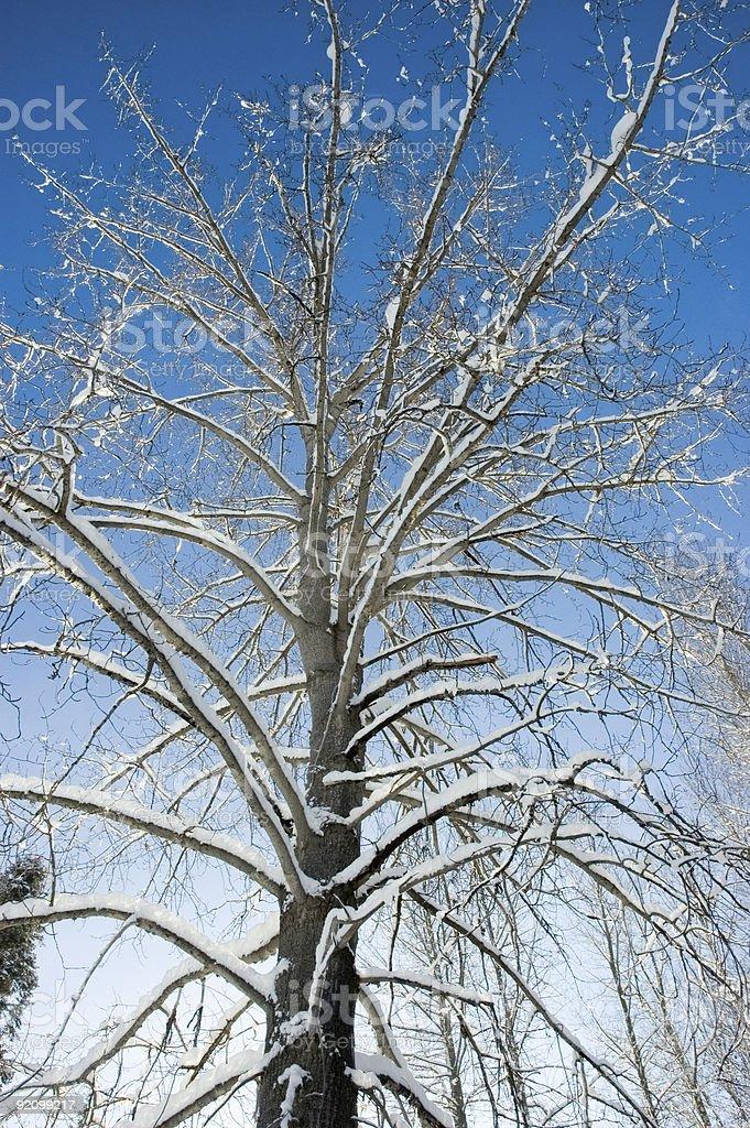 Majestic Wintertime Tree royalty-free stock photo