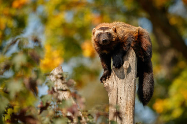 majestic wolverine hang on a tree in front of the colourful background - rosomak zdjęcia i obrazy z banku zdjęć