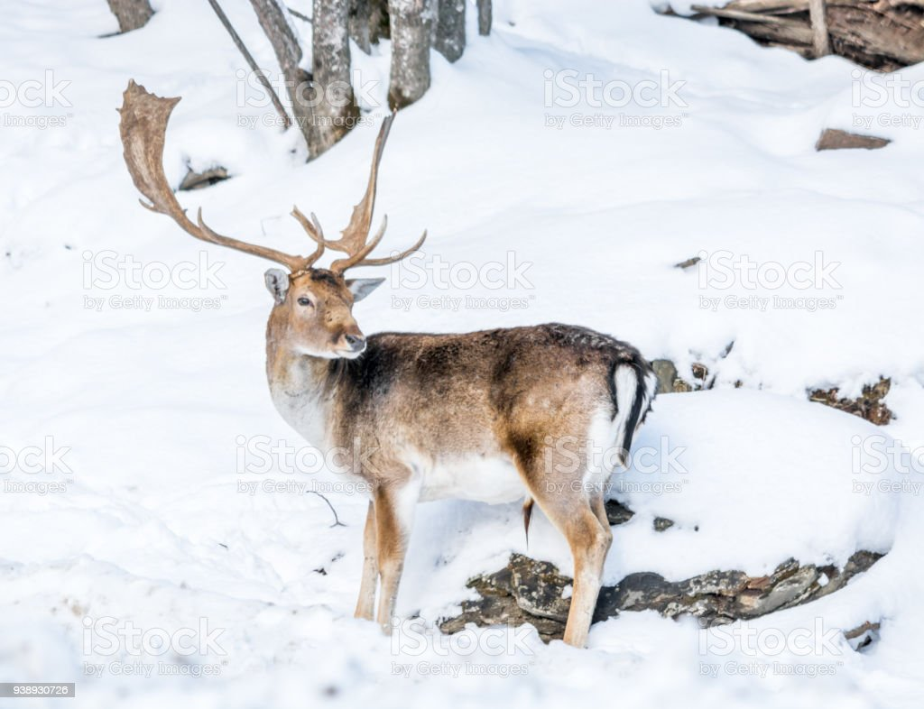 Majestuous Male Fallow Deer In A Snowy Decor Stock Photo & More ...