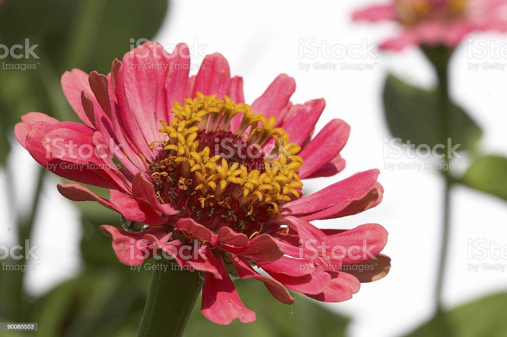Major Daisy royalty-free stock photo