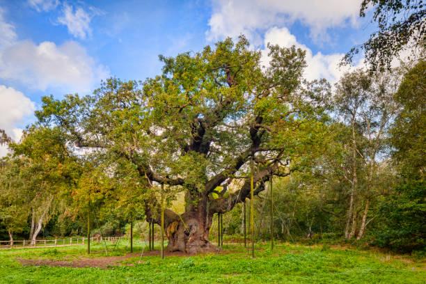 Major Oak, Legendary Home of Robin Hood, Sherwood Forest, UK stock photo