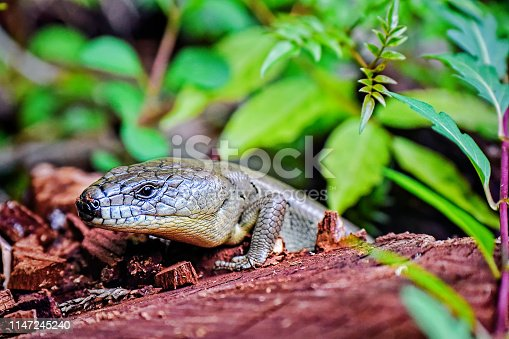 Major Skink on a log in the rainforest