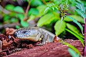 Major Skink on a log in the rainforest