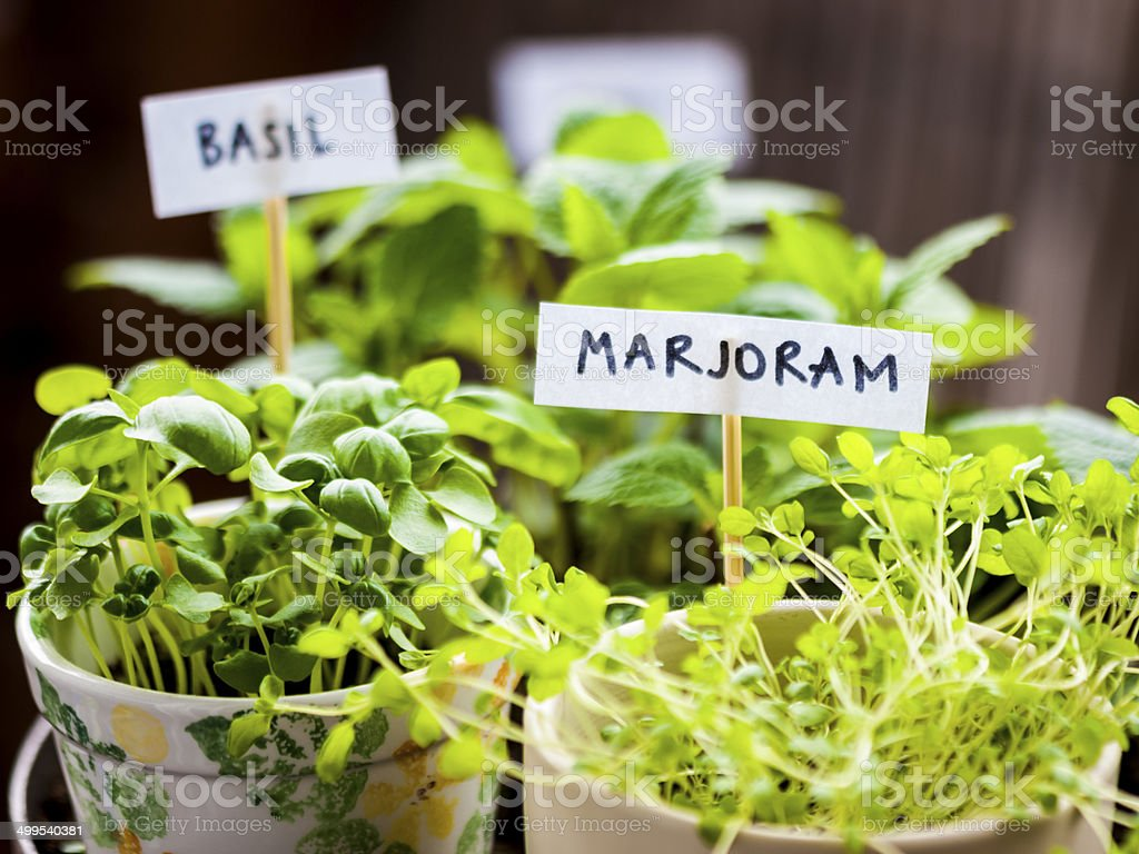Majoram and basil herbs in flower pots on balcony stock photo