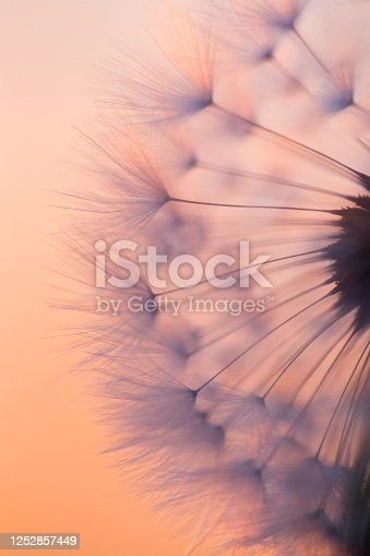 Make a Wish - on peach sunset. A close up photograph of a dandelion clock, with the peach coloured light of sunset behind to provide contrast to the delicate textures and colour of the dandelion seed head.