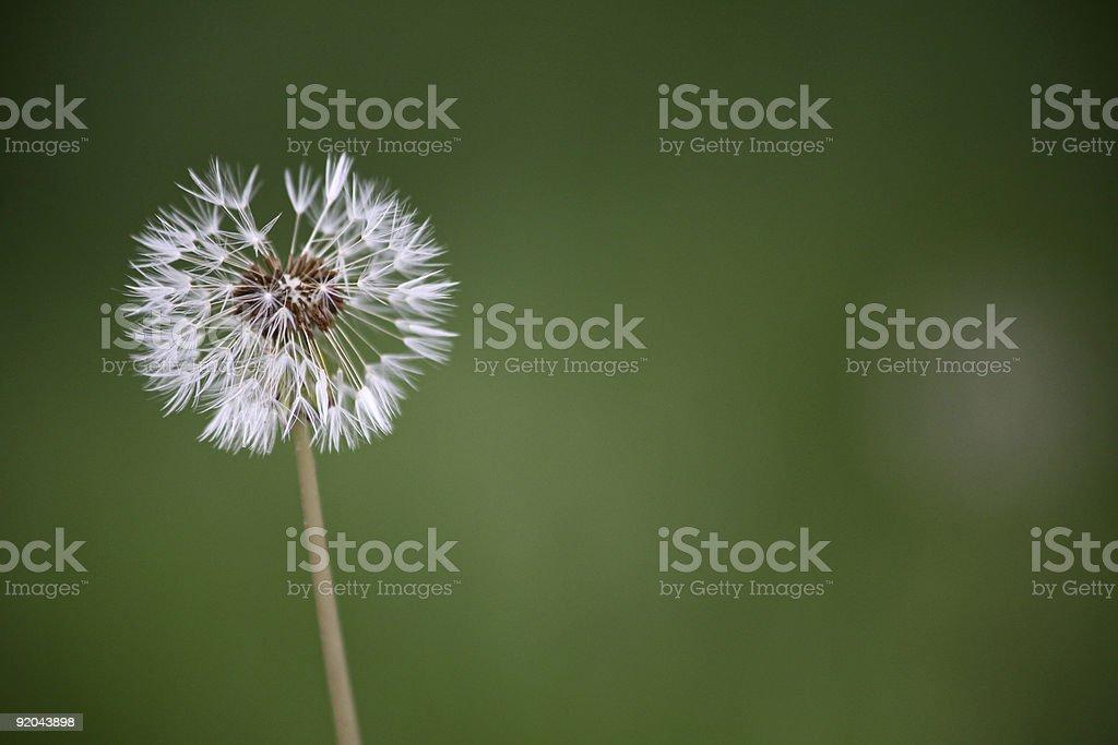 Make A Wish - Dandilion Seed Flower stock photo