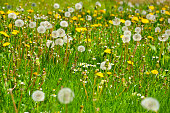 Close-up photo of dandelions on a green meadow.