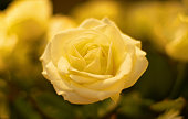 Close up of yellow roses