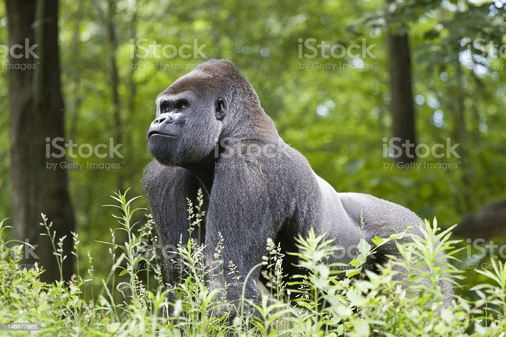 Make silverback gorilla in the forest of central Africa stock photo