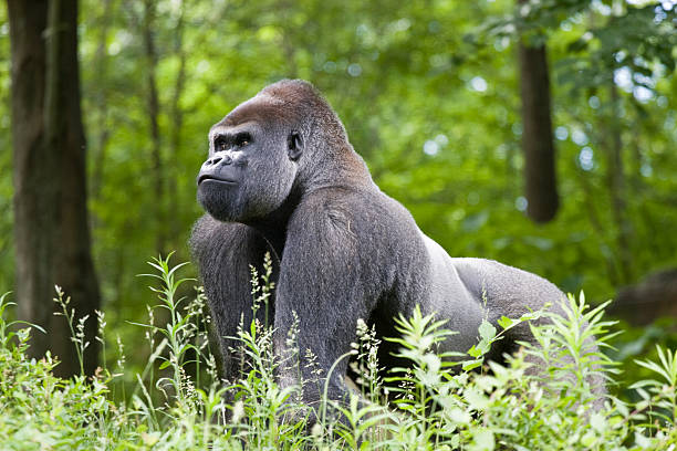 make silverback gorilla in the forest of central africa - gorilla stock photos and pictures