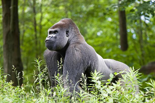 gorila lomo plateado - gorila fotografías e imágenes de stock