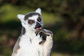 Maki catta (Lemur catta) doing her grooming