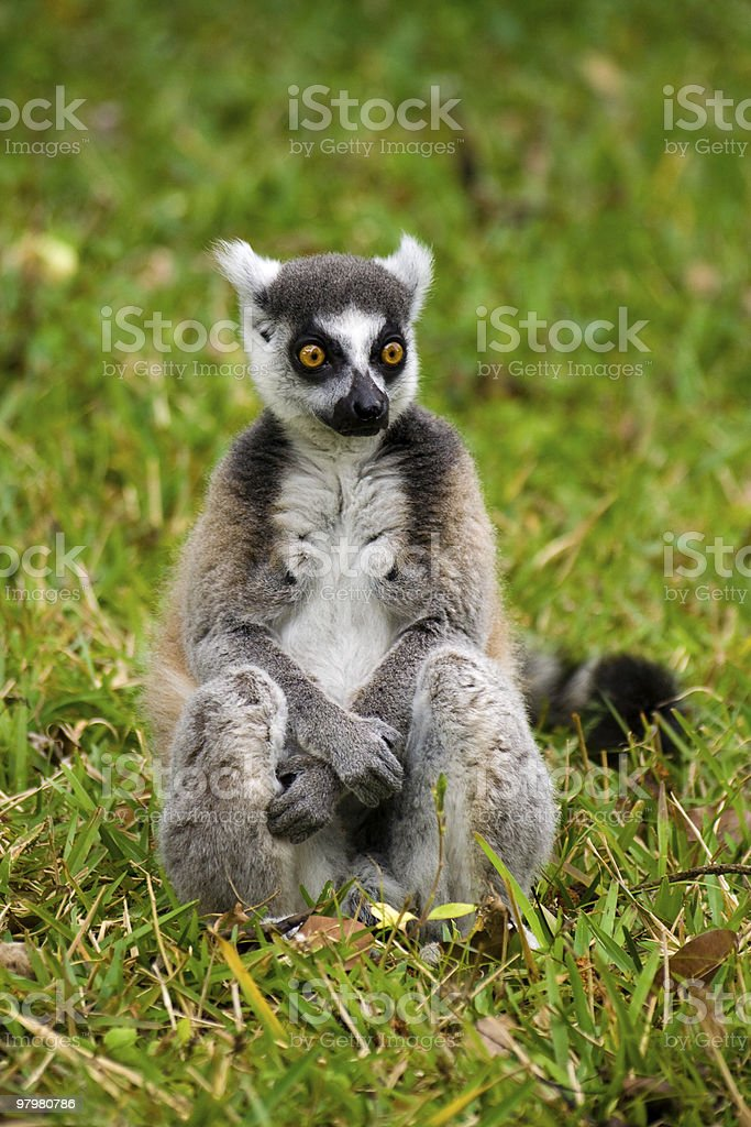 Maki Madagascar royalty-free stock photo
