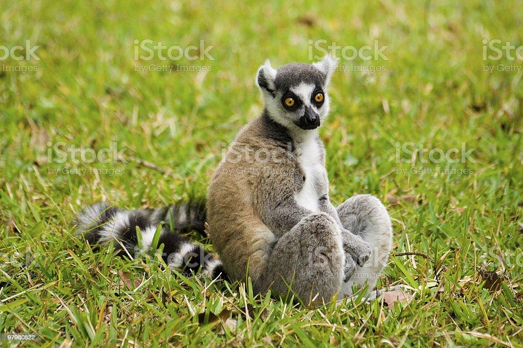 Maki Madagascar royalty-free stock photo