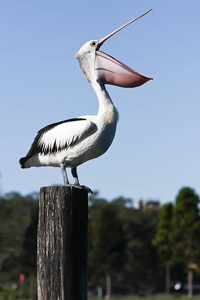 корчить большой объявление - пеликан стоковые фото и изображения