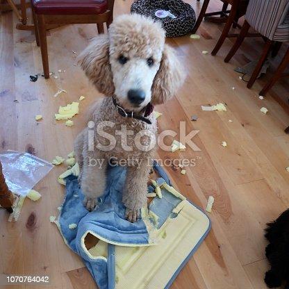 Dog tears up pet bed inside home