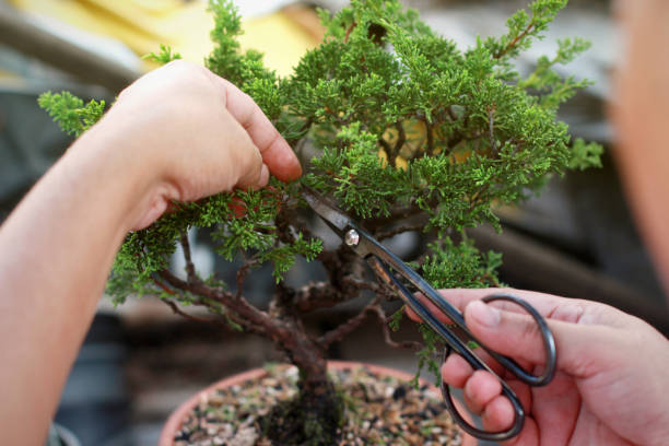 253 Bonsai Clippers Stock Photos Pictures Royalty Free Images Istock