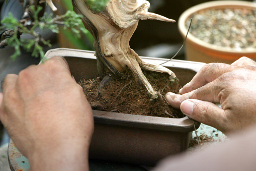 Making Of Bonsai Trees Wiring A Tree Into The Pot Handmade Accessories Wire And Scissor Bonsai Tools Stand Of Bonsai Concept Bonsai Stock Photo Download Image Now Istock