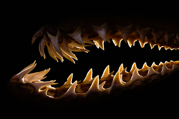 Mako shark jaws terrifying toothy silhouette Shark teeth rows from a Mako jaw. Side view with backlighting in low key. animal mouth stock pictures, royalty-free photos & images