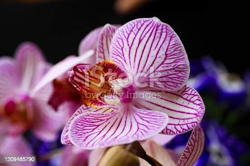 Makro closeup of isolated pink and white orchid blossom, black background (selective focus on tip of  lip left) - Germany