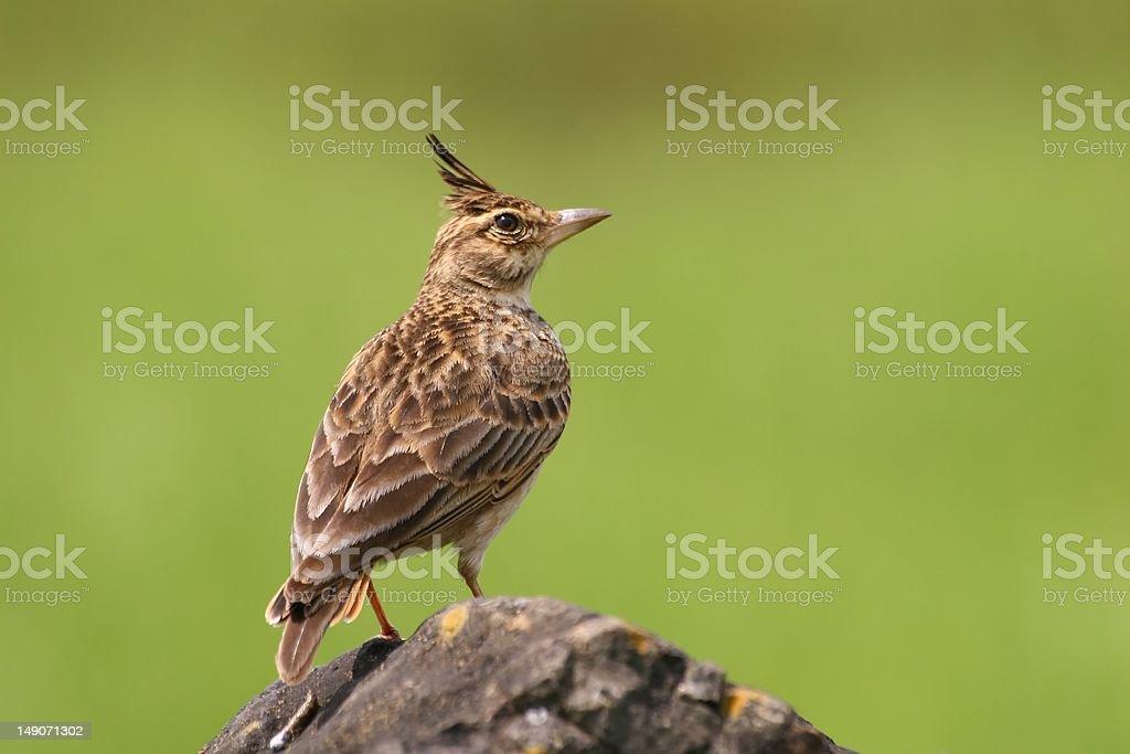 Malabar Crested Lark stock photo