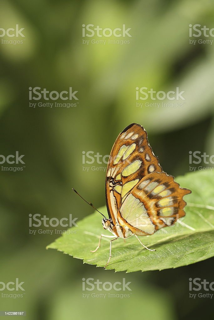 Malachite Butterfly royalty-free stock photo